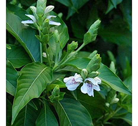 justicia adhobata-homeopathyheal.co.uk